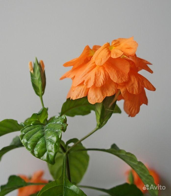 Комнатные оранжевые цветы
