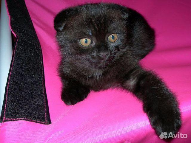 чёрный кот шотландский фото вислоухий