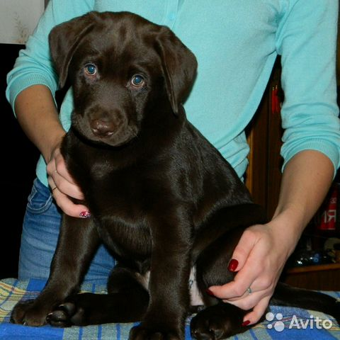 Лабрадор купить щенка в красноярске
