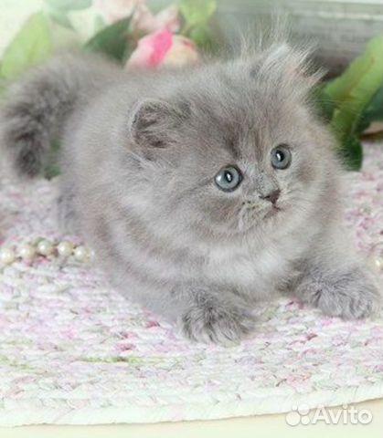 котенок дымчатый kitten smoky  № 2344386 без смс