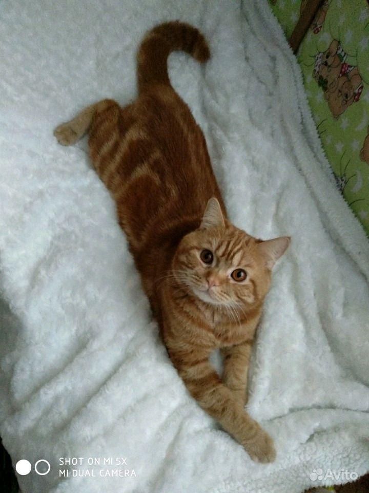 Вязка с шотландским котом редкого окраса