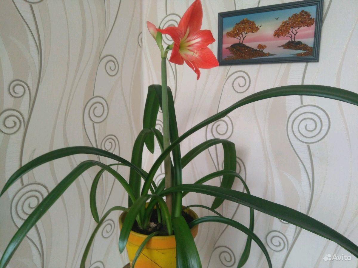 Амариллис Крупноцветковый купить на Зозу.ру - фотография № 2