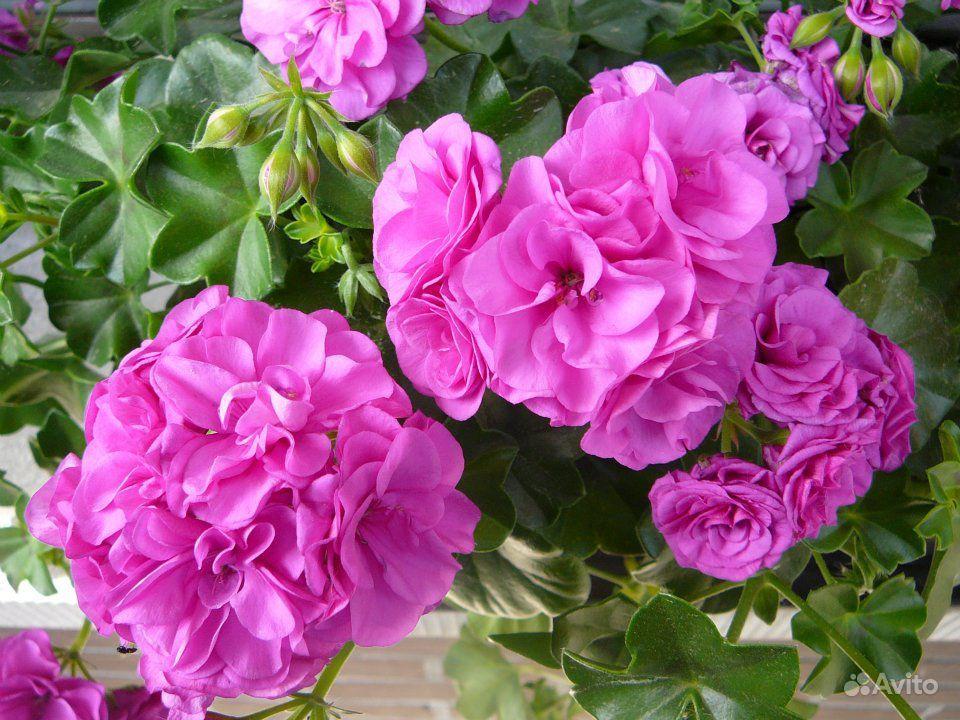 Цветы. Герань плющелистная, ампельная купить на Зозу.ру - фотография № 2