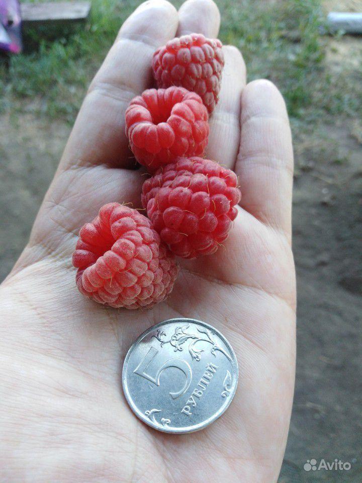Саженцы малины купить на Зозу.ру - фотография № 4