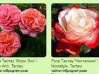 Саженцы роза