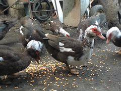 Продаются мускусные утки (индоутки)