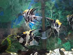Рыба Скалярии взрослые крупные