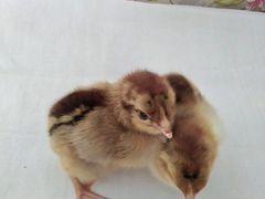 Цыплята породы легбар, кучинские, инкубационое яйц