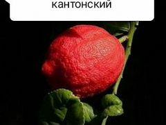 Кровавый лимон бордовый