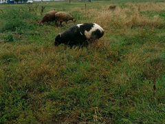 Овцы полу- курдючные от 1г-до 4 лет. 40 голов. Про