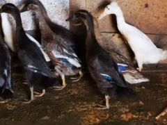 Утки мясо-яичные