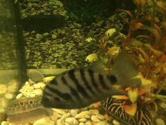 Рыбки цихлозома