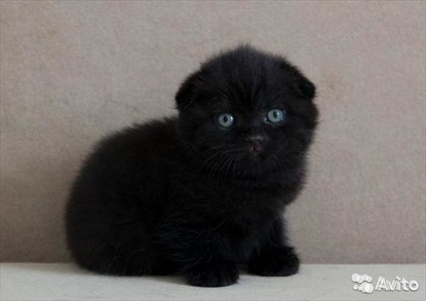 британские вислоухие котята черного окраса фото