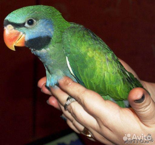 скачать бесплатно говорящего попугая - фото 6
