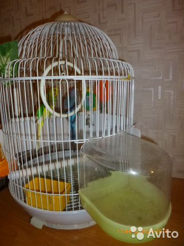 Пение попугаев волнистых девочек