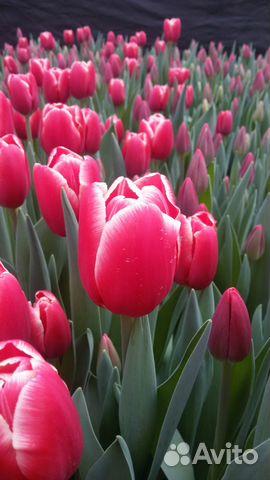 Купить оптом тюльпаны в краснодарском крае купить цветы в горшках грн