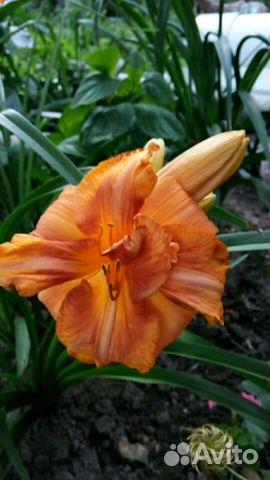 Цветы лилейники купить какие цветы лучше дарить на 8 марта