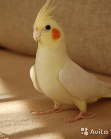 Фото попугаев корелла девочек