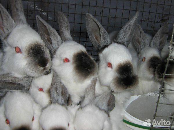 Кролики Калифорнийские 89132042254 купить 1
