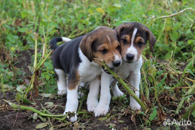 гончие собаки щенки