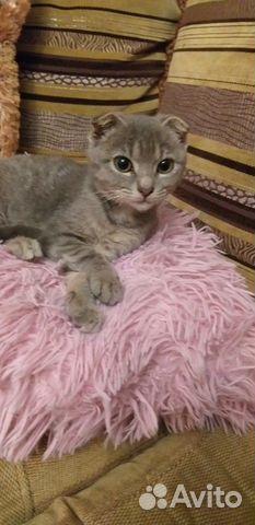 Шотландский котенок 2 месяца