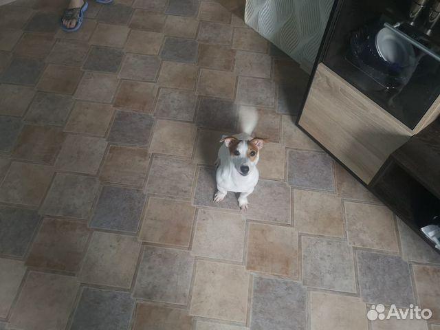 Собака Джек Рассел Терьер купить на Зозу.ру - фотография № 1