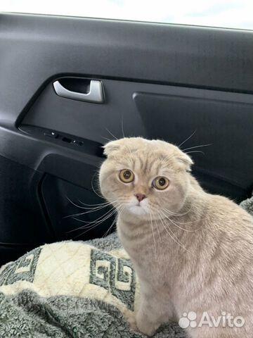 Продам шотландских котят 89787428602 купить 6