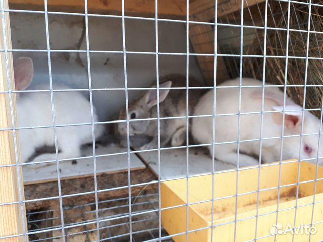 Кролик  89277704326 купить 5
