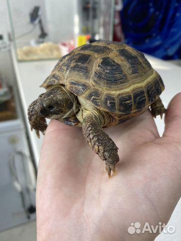 Черепаха  купить 1
