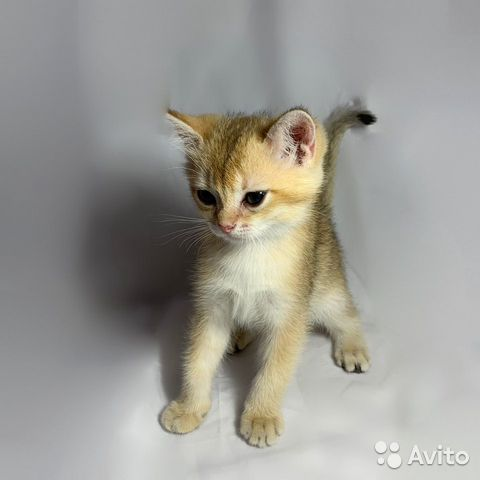 Кошка  89064224049 купить 2