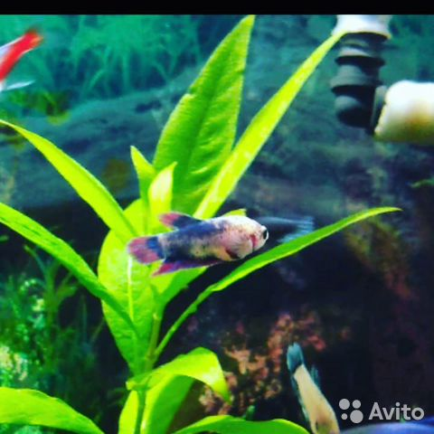 Аквариумные рыбки  89603595956 купить 2