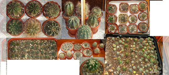Продаю кактусы из небольшой коллекции