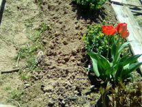 Золотой корень.Радиола Розовая 1- 6 лет. Пересадка