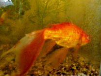 Большая Золотая рыбка комета приблиз. 20-24см