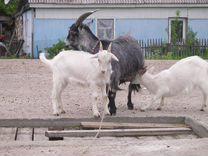 Продам козлят