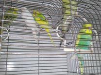 Молодые попугаи