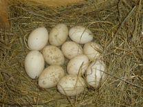 Индоутки, Яйцо индоутки