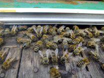 Мёд весенний лесной (черноклён) урожай 2019