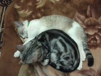 Кастрированый Бенгальский кот