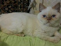 Котик голубые глазки