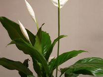 Цветущий спатифилум