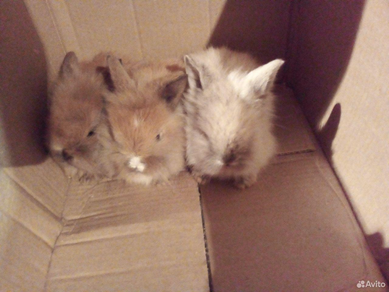 Декоративные крольчата  89038907589 купить 5