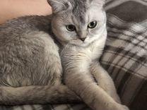 Котик породы «скотиш-страйт»