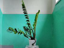 Толстянка-Денежное дерево Замиокулькас долларовое