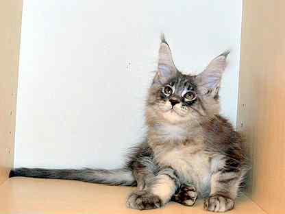 Мейн Кун,крупная красоточка Юта и др.котята из п-к