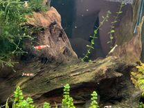 Креветки Красный Кристалл